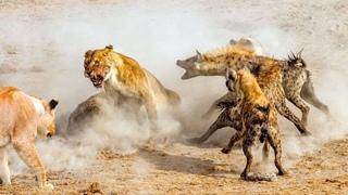 """Гиеновидные собаки нападают на льва. Самые эпичные битвы диких животных """"за 5 минут"""""""