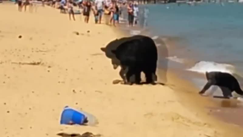 Dipper led the cubs to the beach in California Медведица привела медвежат на пляж в Калифорнии 720p