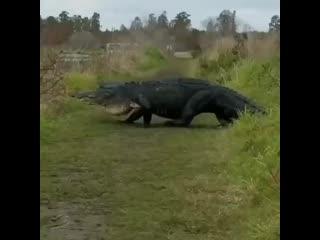 Массивный аллигатор пересекает тропу в заповеднике Circle B Bar во Флориде.⠀Не забудь подп.mp4