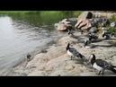 Из жизни диких гусей