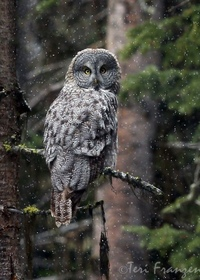 great gray owl facts - 736×967