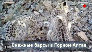 Снежные барсы и другие звери на хребте Чихачева, Горный Алтай