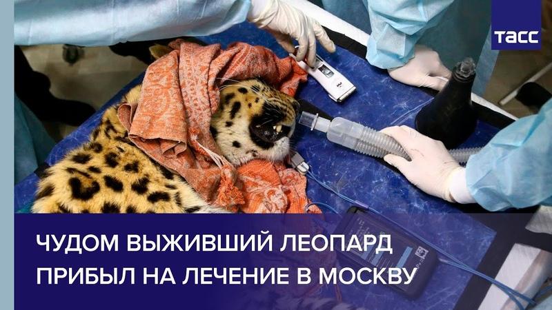 Чудом выживший леопард прибыл на лечение в Москву