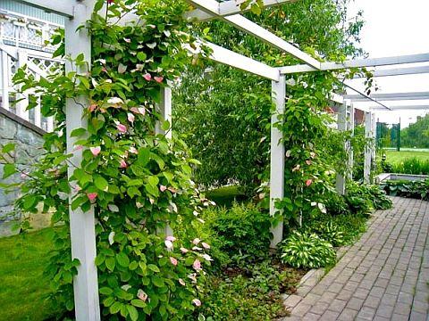 Декоративные лианы-многолетники для дачи и сада., изображение №2