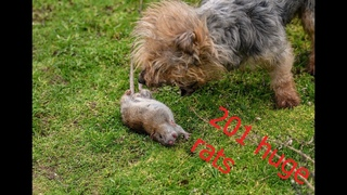 201 rats destroyed for a livestock farm. RATTING.