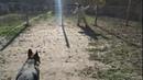 Немецкая овчарка 1,3 года Джигит / первое занятие на рукав