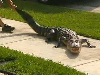 Американец едва спасся от крокодила у своего дома