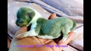 Щенки породы ЧИХУАХУА/ Ксюша И 2 ее сыночка / купить щенка в питомнике Санкт - Петербург МАРИ МИСТИК