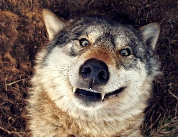 звери смешные картинки с волками так люблю