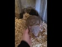 Adorable Baby Armadillo Enjoying Back Scratches