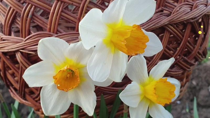 З Вербною неділею вітаю Гарне привітання Відео Поздоровлення Листівка