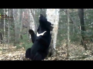 Медведь-почесун на 'Земле леопарда'-Bear-scratcher in the 'Land of the Leopard' National park