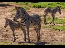 Two Grevy's Zebra Births Add to Endangered Population