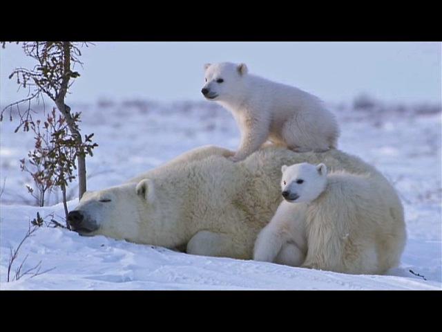 POLAR BEAR LOVE: Cute polar bear cubs lovin up their mamma