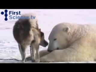 Белые медведи и собаки - странная дружба
