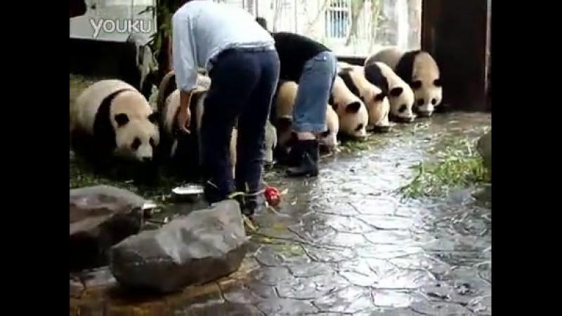 """熊猫必修课之占座喝牛奶"""" 来晚就没地了"""