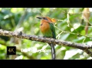 Broad billed motmot Плоскоклювый электрон Electron platyrhynchum