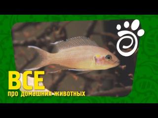 Аквариумная Рыбка Принцесса Бурунди. Все О Домашних Животных