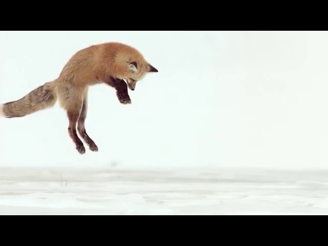 Fox Dives Headfirst Into Snow In Slow Motion