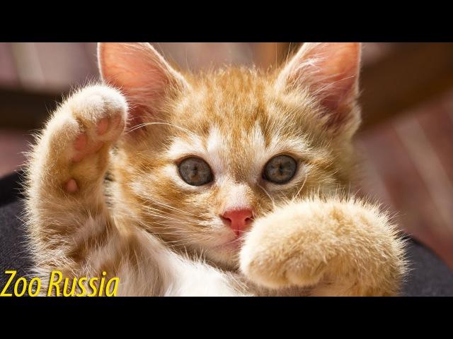Котенок забавно пытается избавится от ленты на голове ZooRussia смешно