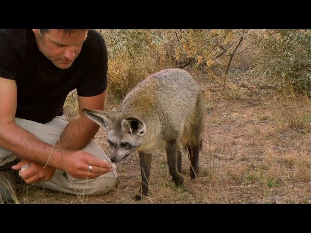 Bat Eared Foxes Can Astoundingly Hear Insects Digging Underground