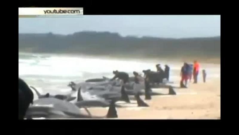 Около 200 дельфинов-гринд выбросились 12 февраля на берег на Фэйрвелл Спит