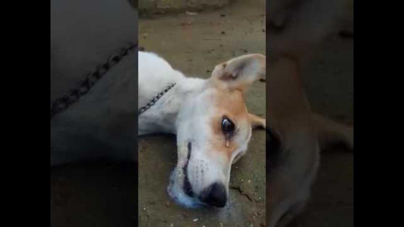Cachorrirnha chora depois de ser envenenada