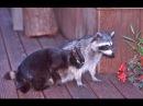 Еноты и кошки/Raccoons and cats