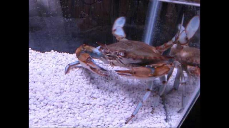 Callinectes sapidus blue claw crab