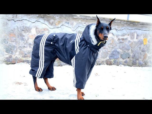 Комбинезон для собак своими руками Одежда для собак Выкройка комбинезона для собаки