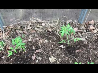 Посадка томатов в грунт ( ранняя посадка томатов )
