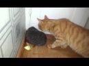 Кот кусает ёжика Cat biting hedgehog