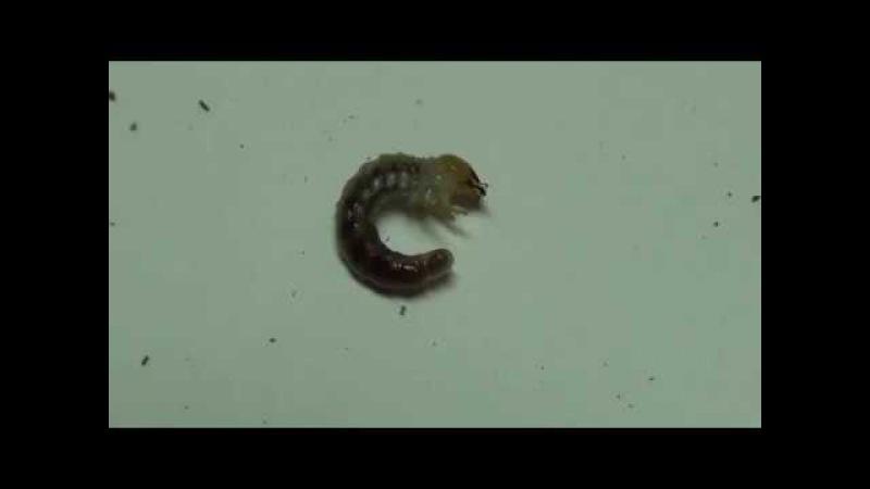 Lamprima adolphinae and Megasoma actaeon larvae