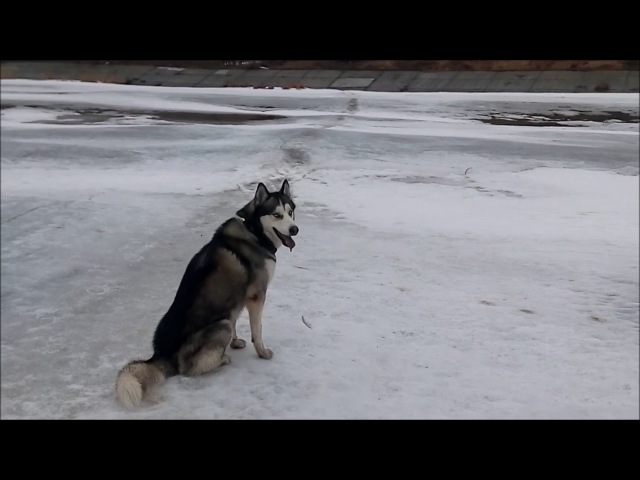 Прогулка по дну Волги с Хаски Walk on the bottom of the Volga with Husky
