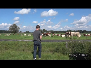 Moozart serenading the cattle cow burp concert 2