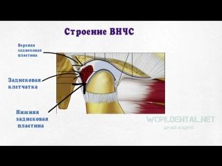 Основы гнатологии. Анатомия и физиология ВНЧС