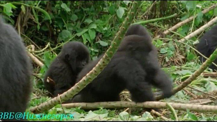 BBC Ребятам о зверятах Орангутанг Отто Документальный 2005