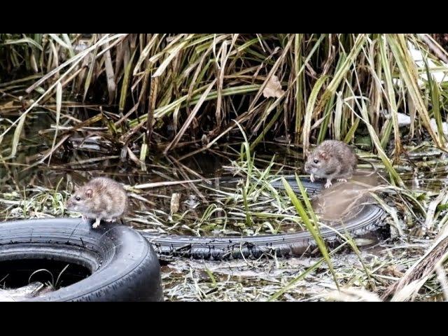 Водяные крысы на охоте / Water rat hunting