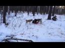 Рай для охотника, охота на кабана с лайками, видео смотреть до конца!