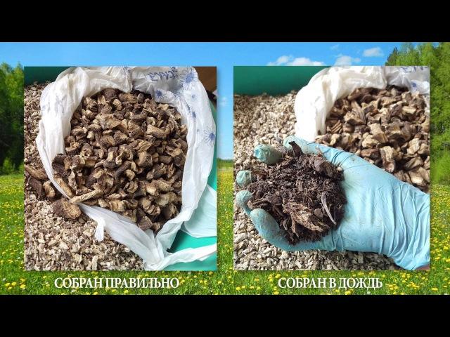 Лопух большой Как и когда собирать корень и лист лопуха