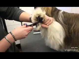 Shih Tzu grooming: Trimming the paws