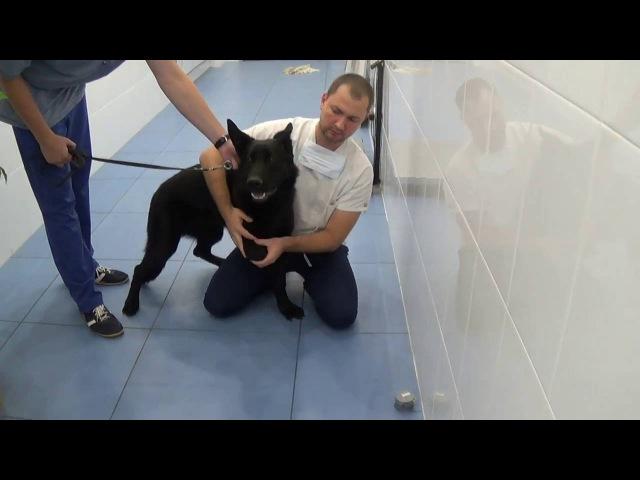 Ослабление сухожилия бицепса (BURP - biceps ulnar release procedure) у собаки
