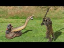 Brave Capuchin Monkey Recuse Mouse When Snake Swallow | Snake Huntting Fail