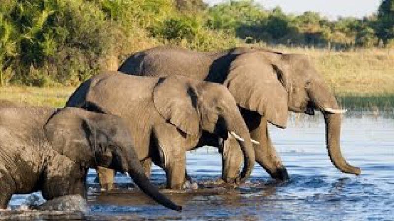 Дикая природа Слоны Африки Документальный фильм BBC