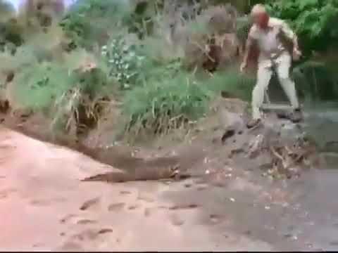Молодой нильский крокодил прогоняет каракала Young hile crocodile chases caracal