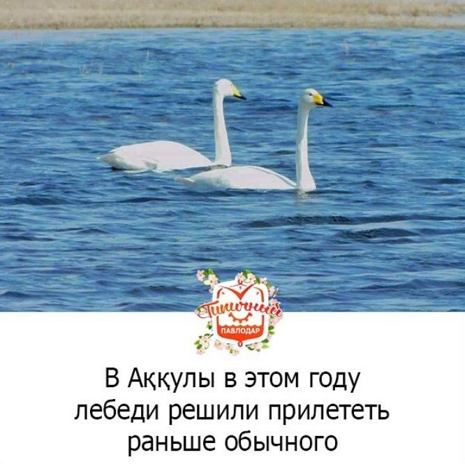 Шесть белых лебедей облюбовали небольшие озера в райцентре, передаёт pavlodarnews.