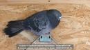 полет николаевских голубе при хорошей погоде.