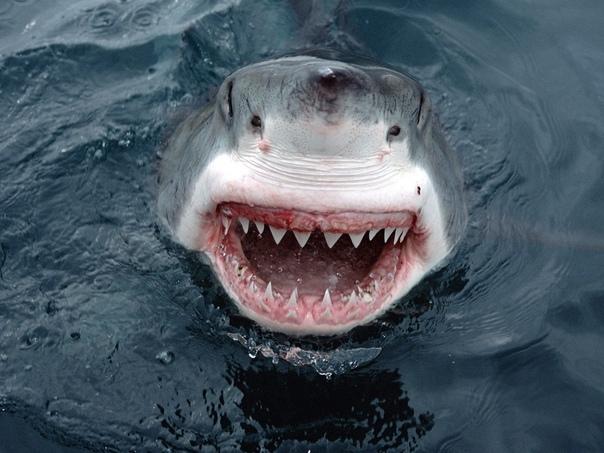 Акулы не чувствуют боли Ощущение боли один из главнейших инстинктов, благодаря которому существует все живое на земле. Способность чувствовать болевые ощущения формировалась в процессе