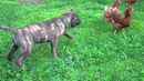 Presa Canario playing chicken with chickens