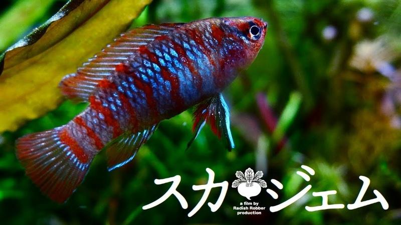 陰性水草水槽のスカーレットジェム アクアリウム 熱帯魚 badis
